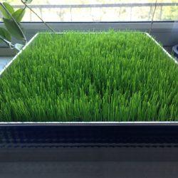 Trawnik w mieszkaniu