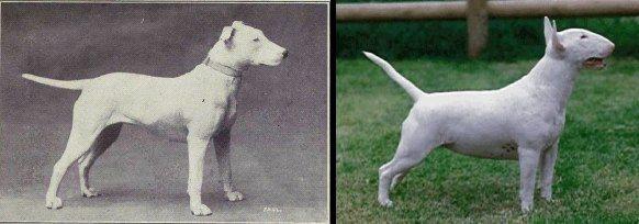 bulterier 100 lat temu i dziś źródło: http://dogbehaviorscience.wordpress.com/