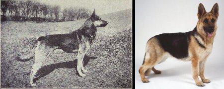 Owczarek niemiecki 100 lat temu i dziś.  źródło: http://dogbehaviorscience.wordpress.com/